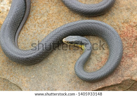 Yellow-bellied Racer Snake on Rock Coluber constrictor flaviventris #1405933148