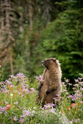 Yellow belly marmot, rock chuck, wild animals, rodant, mt. rainer national park, wildflowers,