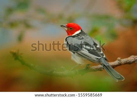 Yellow-billed Cardinal, Paroaria capitata, black and white song bird with red head, sitting on the tree trunk, in the nature habitat, Pantanal, Brazil. Travelling in South America.