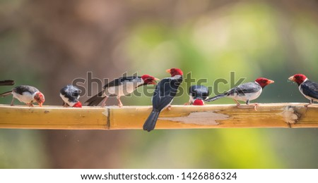 Yellow billed Cardinal perched ,Pantanal forest, Brazil