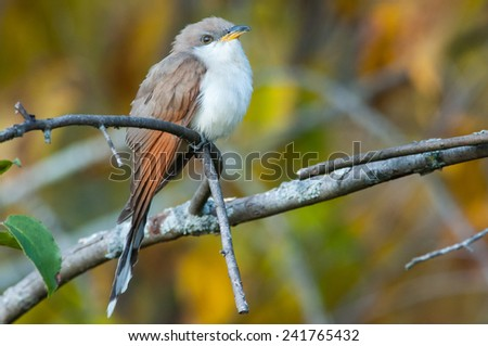 Stock Photo Yellow-billed Cuckoo