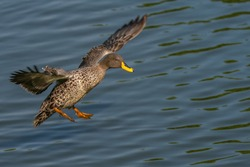 Yellow billed duck incoming land