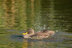 Yellow Billed Duck taking a bath