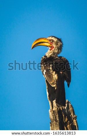 Yellow billed horn bill in a tree