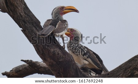 Yellow billed horn bill in south africa
