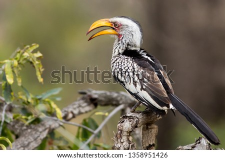 Yellow Billed Horn Bill,Tockus Leucomelas, sitting on a branch in the Kruger National Park