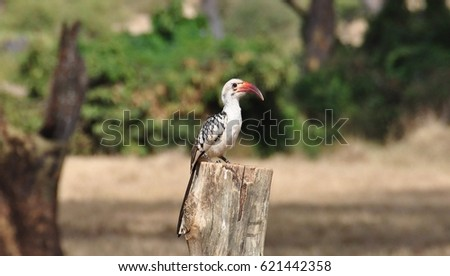 Yellow-billed Hornbill sitting on a tree stump