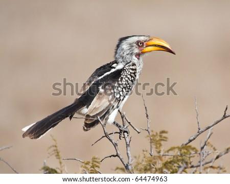 Yellow billed hornbill sitting on tree in sunshine