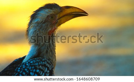 yellow billed hornbill south africa in kruger park