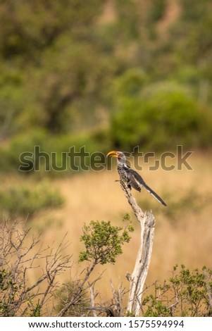 Yellow billed hornbill ( Tockus Leucomelas) on a branch, Pilanesberg National Park, South Africa.