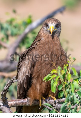 Yellow-billed kite body portrait in the Kruger National Park South Africa