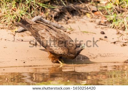 Yellow billed kite drinking water