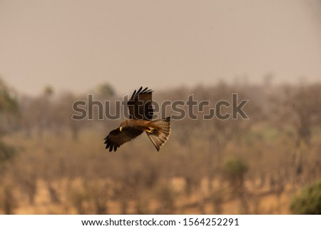 Yellow Billed kite, hwange Zimbabwe. Bird of Prey