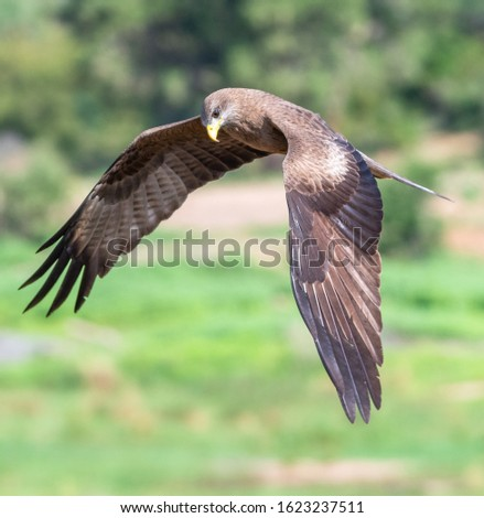 Yellow-billed kite in flight in the Kruger National Park South Africa
