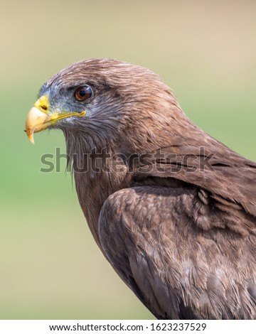 Yellow-billed kite side portrait in the Kruger National Park South Africa