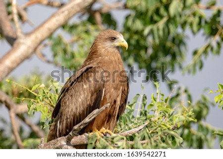 Yellow billed Kite sitting on a branch in the  Kruger National Park
