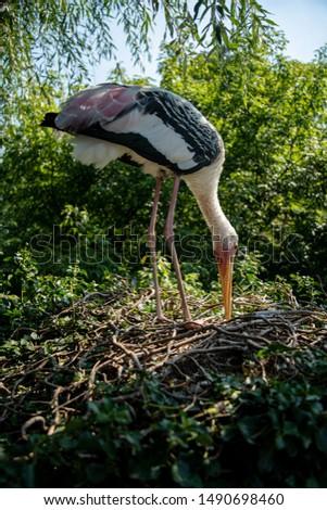 Yellow-billed or wood stork, Mycteria ibis, standing on big nest