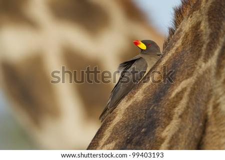 Yellow Billed Ox Pecker (Buphagus africanus) on a giraffe, in Tanzania - stock photo