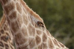 Yellow Billed Oxpecker on Giraffe