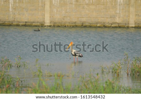 yellow-billed stork birds in lakewater india