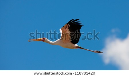 Yellow-Billed Stork flying over Lake Nakuru National Park, Kenya. The Yellow-billed Stork (Mycteria ibis) is a large wading bird in the stork family Ciconiidae.