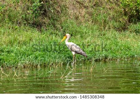 Yellow billed stork in Kazinga Channel