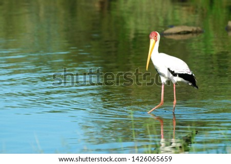 Yellow billed stork looking for some food in some shallow water