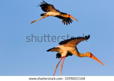 Yellow-billed stork (Mycteria ibis) in Liwonde N.P. - Malawi