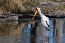 Yellow-billed Stork (Mycteria ibis), sometimes also called the wood stork or wood ibis, in the Xakanixa region of the Okavango Delta in northern Botswana, Africa.