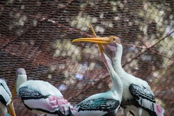 Yellow billed stork's couples sharing love