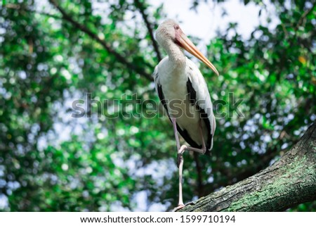 Yellow-billed Stork staring from a tree branch