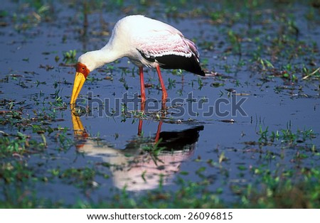 Yellow billed stork with reflaction - stock photo