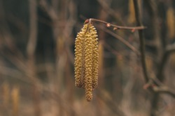 Yellow birch catkins. Useful plants and trees. Spring background.  Seeds. Energy and the revival of life. Pollen and allergies