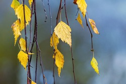 Yellow birch leaves on drooping leaves with a blurred background. Autumn background
