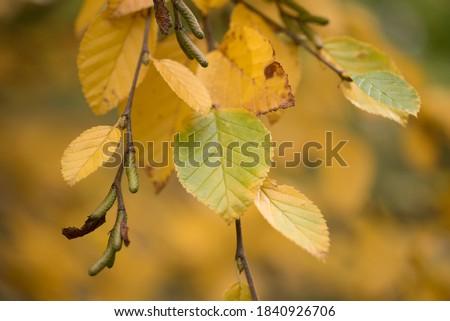 yellow birchs during autumn season Photo stock ©