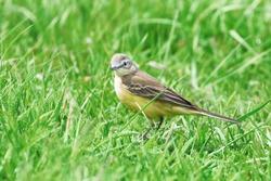 Yellow Bird in the Grass, Western Yellow Wagtail (Motacilla flava)
