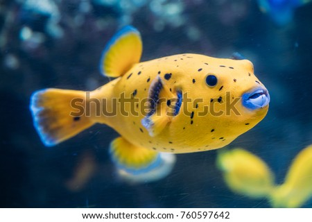 Yellow Blackspotted Puffer Or Dog-faced Puffer Fish Arothron Nigropunctatus Swimming In Water. If Not Prepared Properly, Toxin Found In Pufferfish - Tetrodotoxin Can Kill You In A Couple Of Hours. - Shutterstock ID 760597642