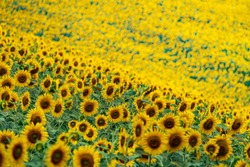 Yellow bloom field. Sunflower blooming blossom. Flower meadow in natural environment. Helianthus.