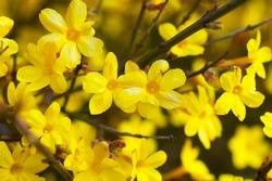 Yellow bloom of a winter jasmine bush.