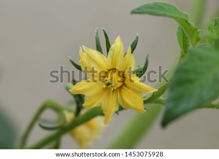 Yellow bloom of tomato Bloom In the greenhouse #1453075928