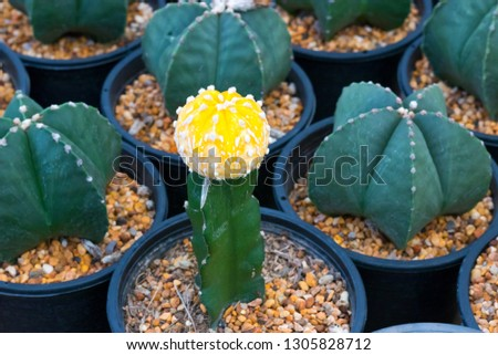 Yellow blooming cactus Astrophytum myriostigma  2c1f035100ae