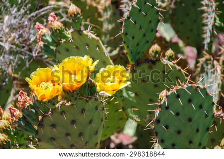 Yellow Blooming Flowers at BlooSaguaro National Park #298318844