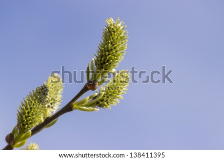 Yellow blooming pussy willow branches