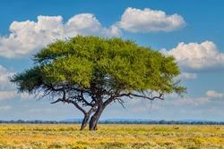 Yellow blooming savanna - blooming Kalahari desert with alone green acacia tree after rain season, South Africa wilderness landscape