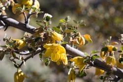 Yellow blooming spike inflorescence of California Fremontia, Fremontodendron Californicum, Malvaceae, native hermaphroditic evergreen shrub, San Bernardino Mountains, Transverse Ranges, Summer.