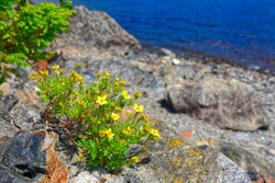 Yellow Blooms of Shrubby Cinquefoil on the Shores of Gander Lake, Newfoundland & Labrador, Canada