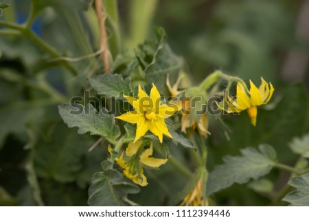 yellow blossoms from tomatoe