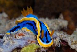Yellow, blue, white, purple and black nudibranch. Underwater photo. Philippines