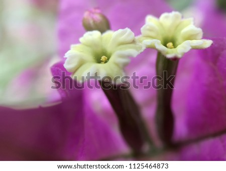 Yellow bougainvillea flowers in front of purple sepals
