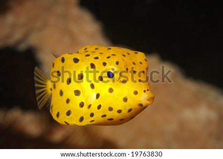 Yellow boxfish juvenile (ostracion cubicus) swimming near coral in Lembeh Strait, North Sulawesi, Indonesia
